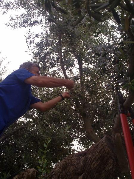 injertos-olivos